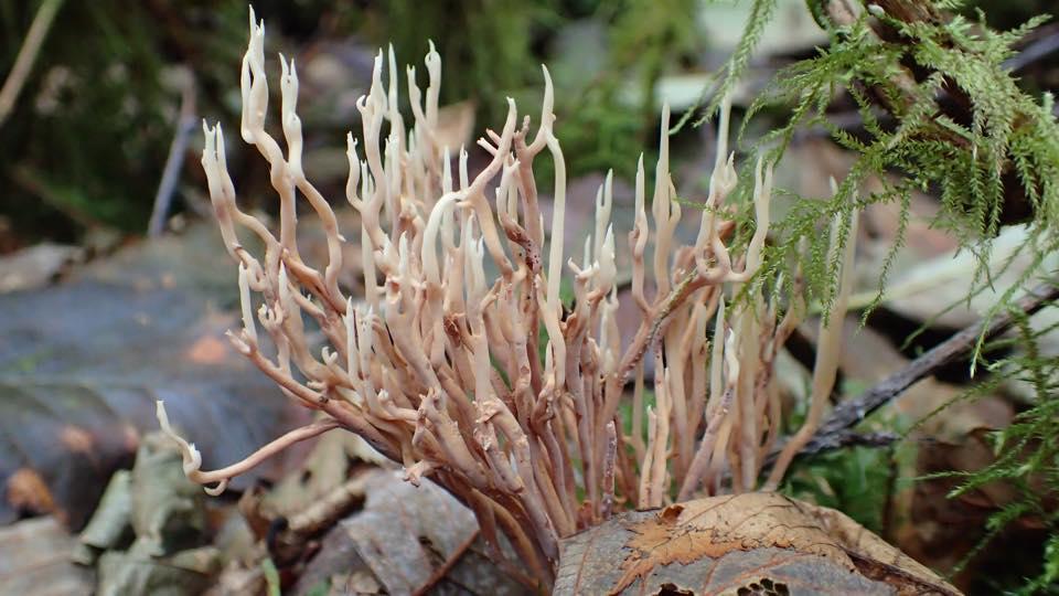 coralline fungus