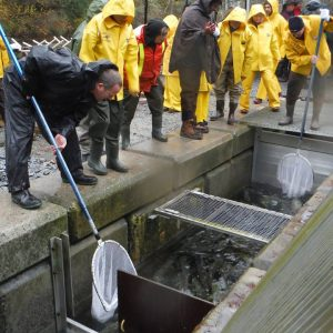 netting salmon