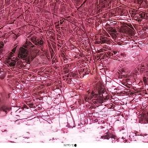 cougar on nature camera