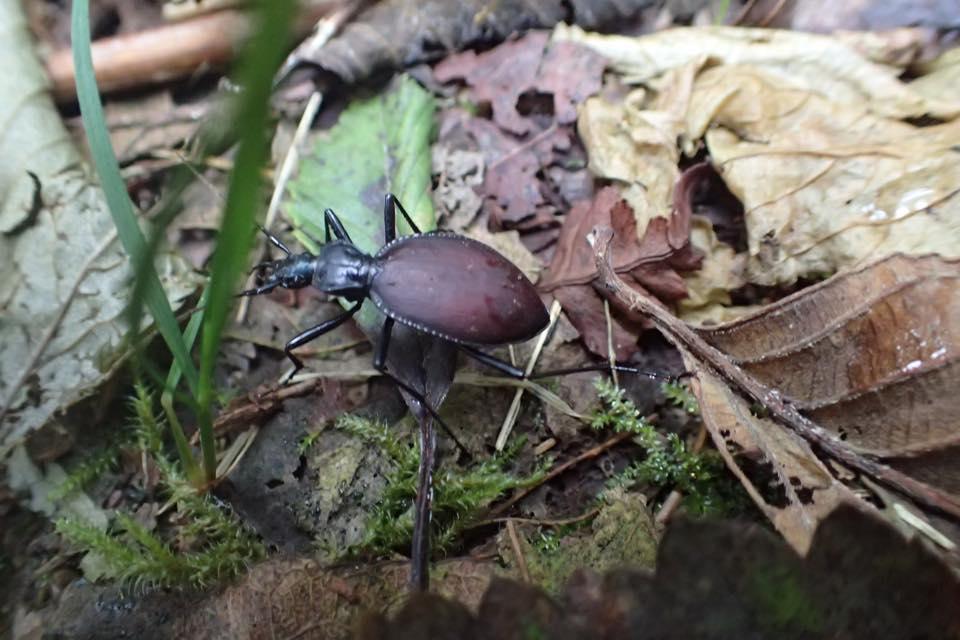 snailkillercarabid