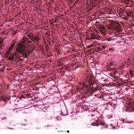 cougar on nature camera
